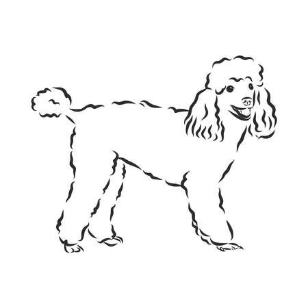 Poodle dog - vector illustration Vektorové ilustrace