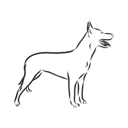 Sketch of Belgian Shepherd dog, Hand drawn illustration.