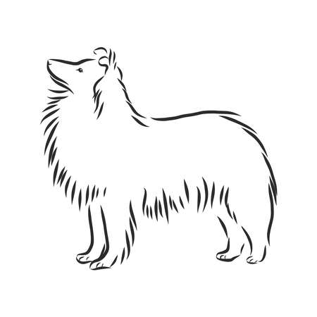 Decorative portrait of standing in profile Sheltie Shetland Sheepdog, vector isolated illustration in black color on white background