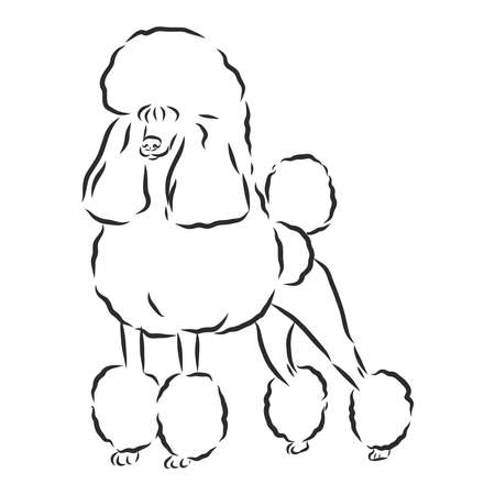 Poodle dog - vector illustration Vector Illustration