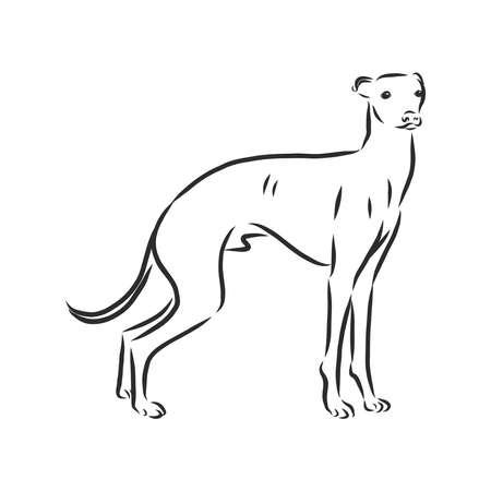 Greyhound, showing male dog, engraved illustration.