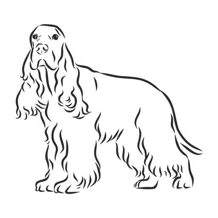 Hand drawn vector illustration English Cocker Spaniel. Sketch style dog. Realistic