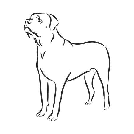 English mastiff dog - isolated vector illustration sketch Vettoriali