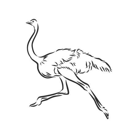 Vector illustration. Hand drawn realistic sketch of ostrich