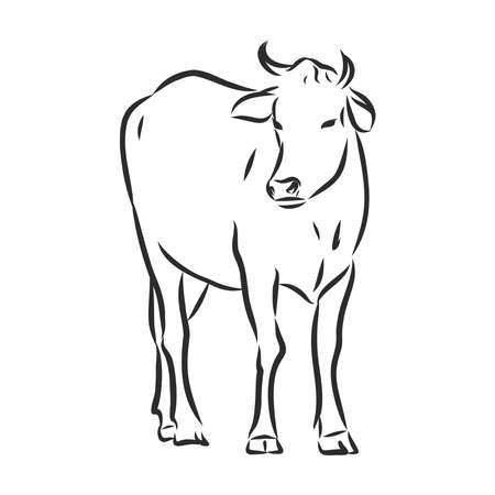 Cow isolated on white, hand drawn vector illustration. Vektorgrafik