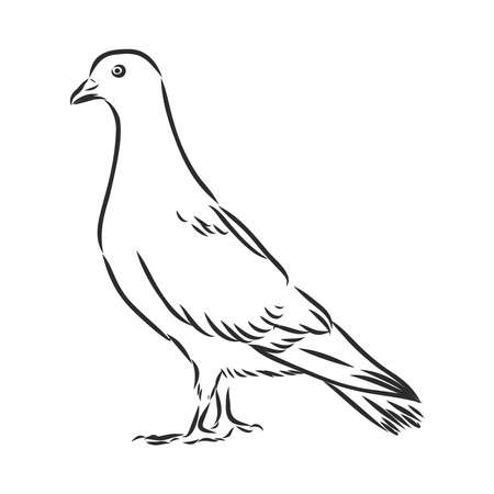 Dove hand drawn illustration. Vector line art with couple of pigeons, flying white bird, standing carrier pigeon and dove with branch. Stock Illustratie