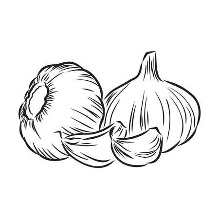 Garlic. Hand-drawn illustration converted to vectors. Pastel effect coloring. Colors are ready to change. Çizim