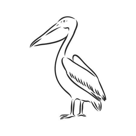 Hand drawn pelican. Vector sketch illustration.