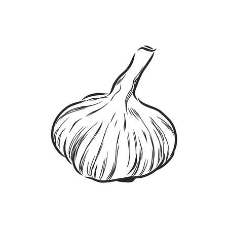 Garlic. Hand-drawn illustration converted to vector. Pastel effect coloring. Colors are ready to change. Çizim