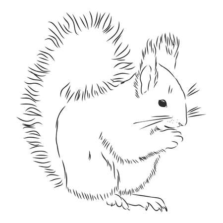 Squirrel. Hand drawn sketch illustration isolated on white background