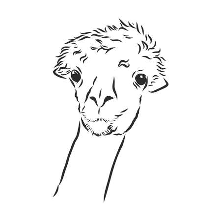 silent llama, alpaca portrait, vector sketch illustration