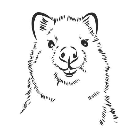 Happy Australian quokka, little kangaroo. vector sketch illustration Vector Illustration