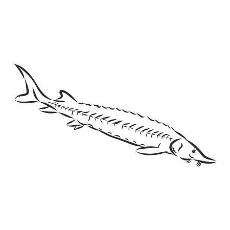 sturgeon, rare fish for fishing, black caviar sign, silhouette, vector sketch illustration Vettoriali