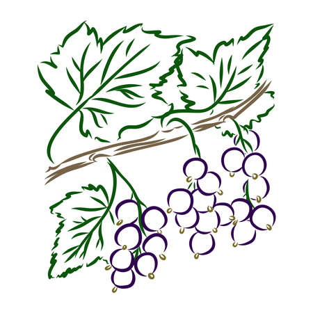 A branch of a black currant with berries. Hand drawn. Grange background. Botanical drawing. Vektorgrafik