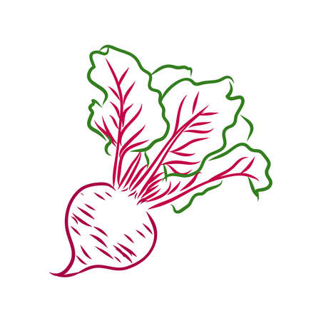 Beet line drawn on a white background. Sketch beet colors. Vegetables and leaves.
