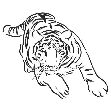 vector of hand drawn sketch of stalking tiger in black and white monochrome colors isolated on white background
