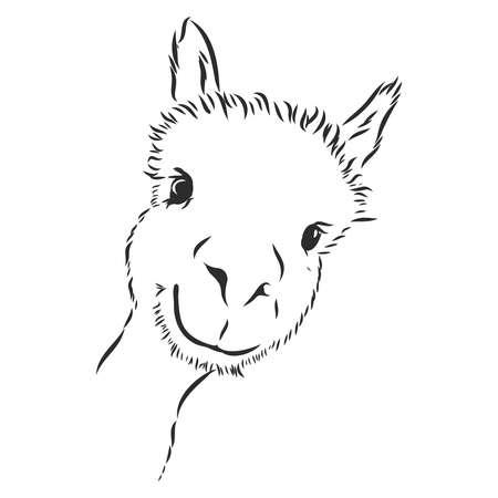 Alpaca Llama portrait. Hand-drawn, sketchy, graphic portrait of an alpaca llama on a white background.