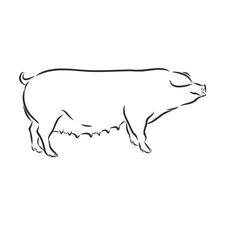 Vector illustration of pig in graphic style, hand drawing illustration.