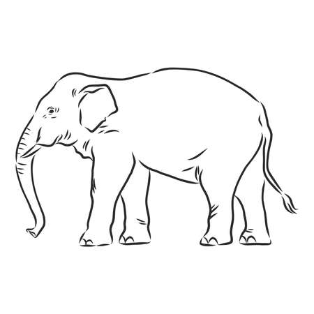 Beautiful sketch of an adult Asian elephant with line on white background