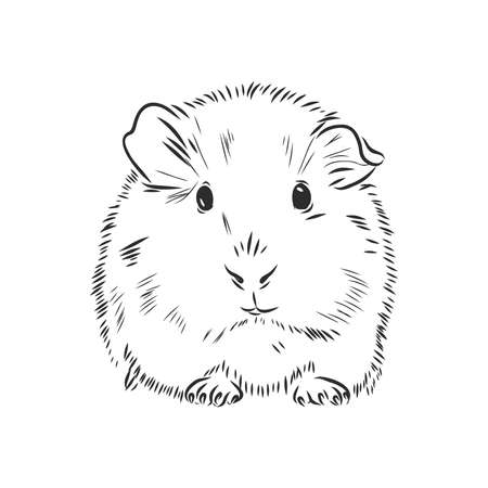 Guinea pig or Cavy inky hand drawn sketch vector illustration