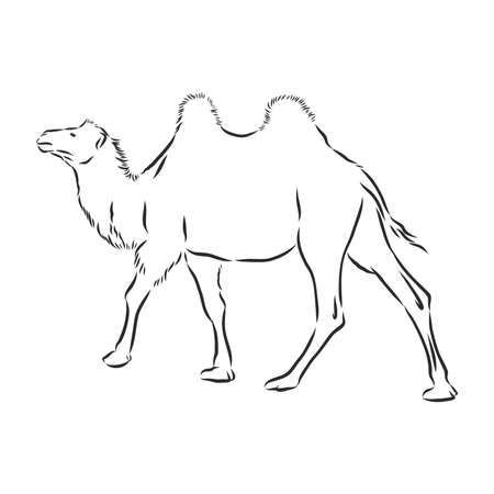 Camel. Hand drawn vector illustration. Can be used separately from your design.