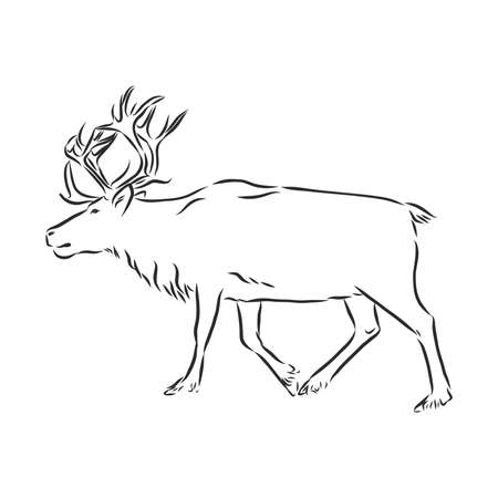 Polar deer. Vector hand drawn illustration with nordic animal isolated on white in sketch style. Illustration