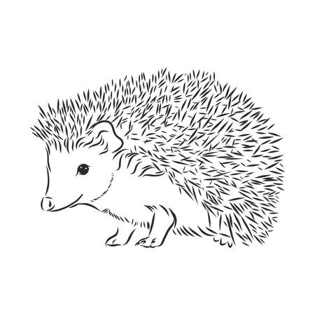 Hedgehog sketch drawing isolated on white background