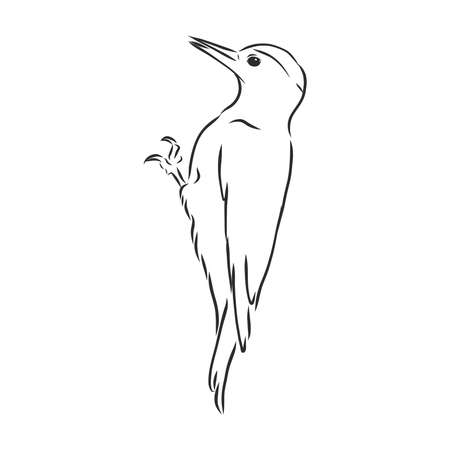 Isolated vector illustration. Hand drawn linear ink sketch of a Woodpecker bird.