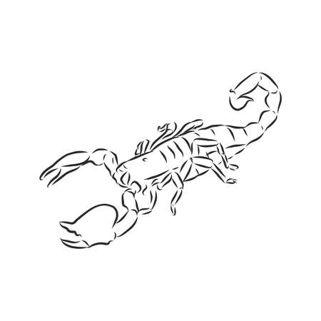 Hand drawn sketch of scorpion. Retro realistic animal isolated. Vintage tattoo. Doodle line graphic design. Tattoo design. Black and white drawing scorpion. Vector illustration.