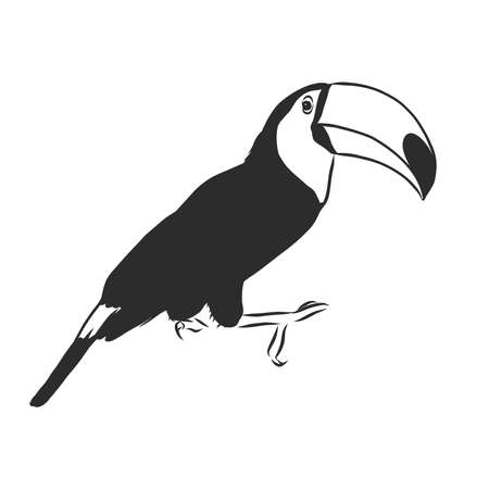 toucan hand drawn vector llustration realistic sketch 向量圖像