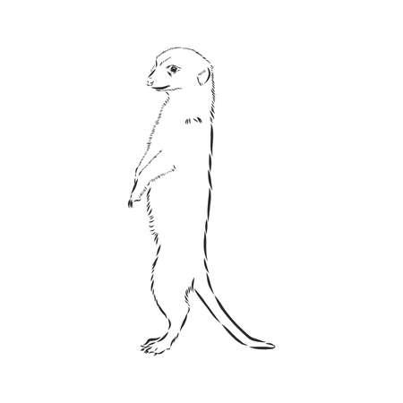 meerkat icon. animal sign, meerkat animal, vector sketch illustration