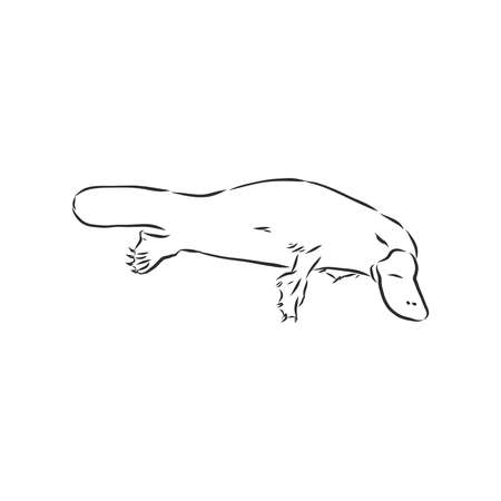 Platypus illustration, drawing, engraving, ink, line art, vector