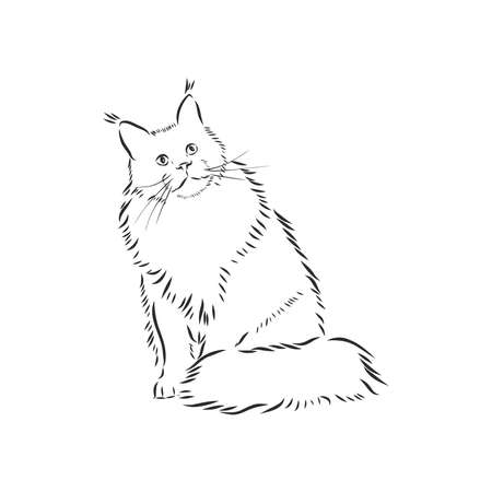 Maine coon cat portrait. Hand drawn illustration. Can be used separately from your design.