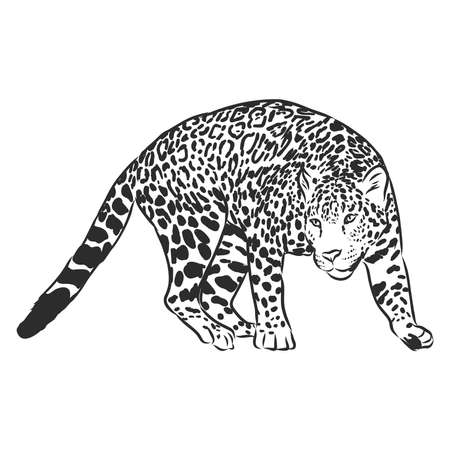 Jaguar. Hand drawn sketch illustration isolated on white background