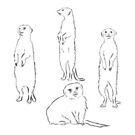 hand drawn illustration of a meerkat