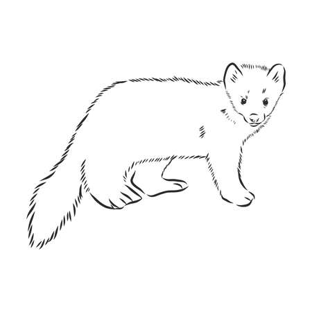 Sable or Martes zibellina, vintage engraving. Old engraved illustration of Sable. sable animal vector sketch illustration