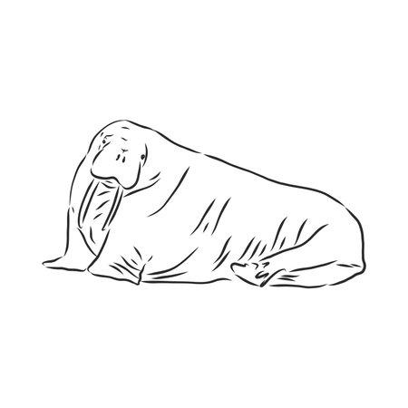 Sketch of a walrus. Hand drawn illustration converted to vector. walrus vector sketch illustration