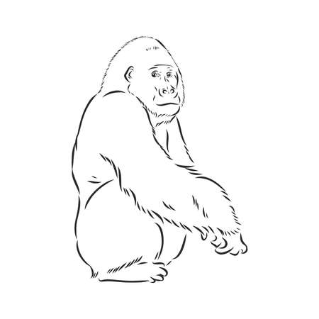 hand drawn vector illustration with a gorilla isolated on a white background