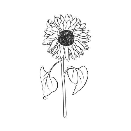 Doodle sunflower contour isolated on white background
