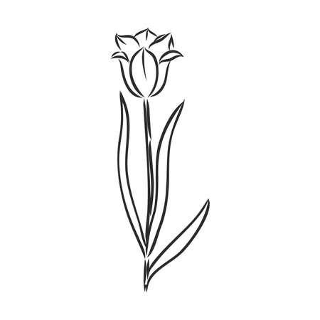 Hand drawn tulips. Vector. tulip, vector sketch Ilustração