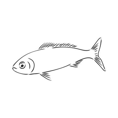 Pilchard. Ink sketch of sardine. Small herring. Hand drawn vector illustration of fish isolated on white background.