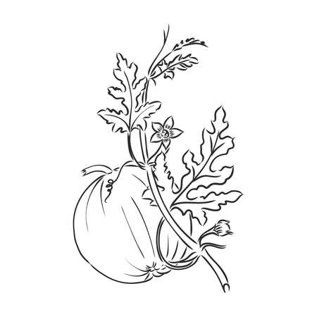 Pumpkin sketch hand drawn illustration. Isolated hand drawn object. Vegetable engraved style illustration. Detailed vegetarian food sketch. Farm market product. Ilustração