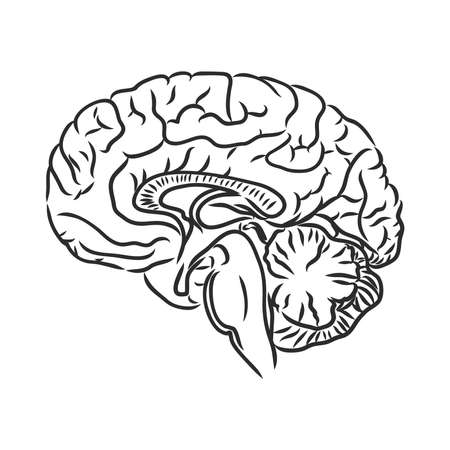 Brain of the person for medical design. Vector sketch. Vector Illustration