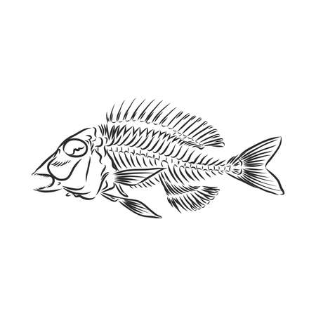 skeleton of fish. sketch. skeleton of a prehistoric fish vector sketch illustration