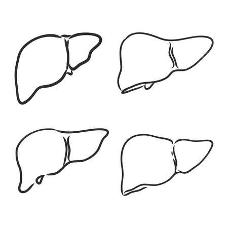 Liver human organ. Sketch vector element for medical or health care design