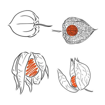Physalis auto traced vector sketch, grey scale physalis vector sketch