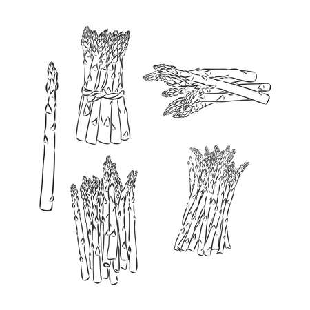 Spring asparagus hand drawn vector asparagus vector sketch