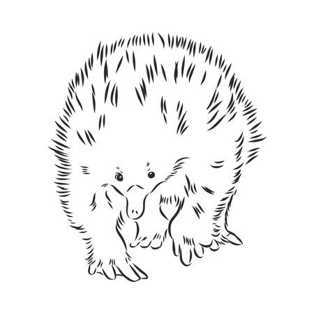 Echidna, Australian animal linear hand drawn illustration. Vector.