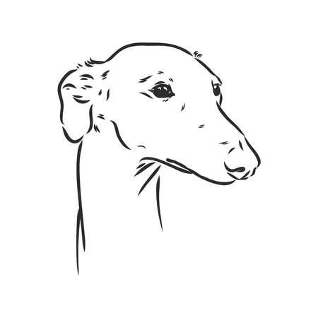 Greyhound dog - isolated vector illustration greyhound portrait vector sketch Vector Illustratie