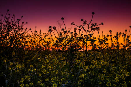 canola: Sunset in the field Stock Photo
